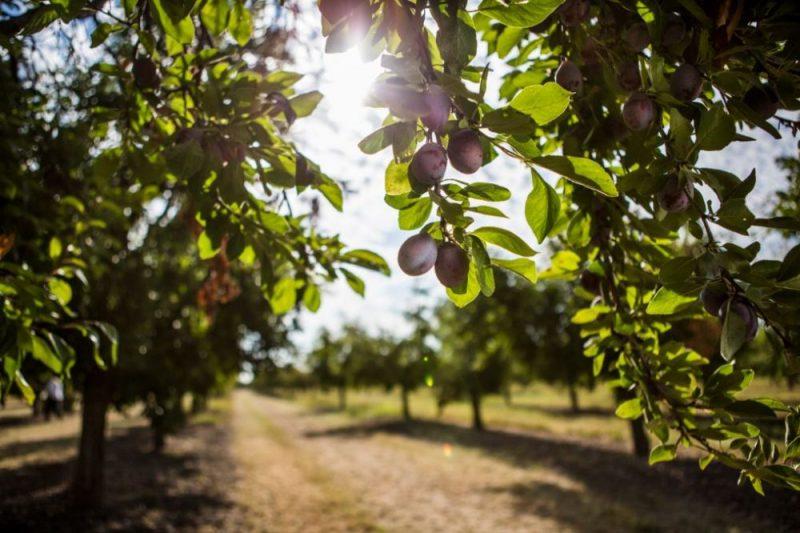 California Prune Board reports export growth