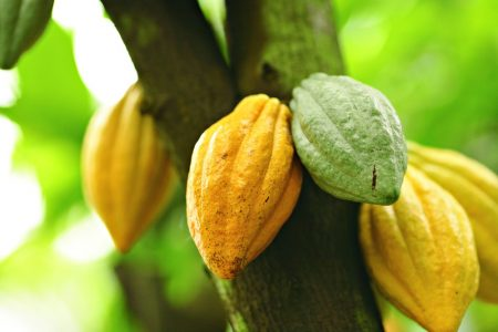 Cocoa genome to help speed production