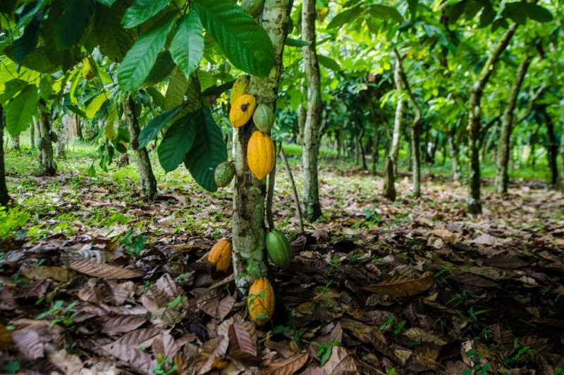Mondelēz International confirms its Cocoa and Forests Initiative sustainability goals