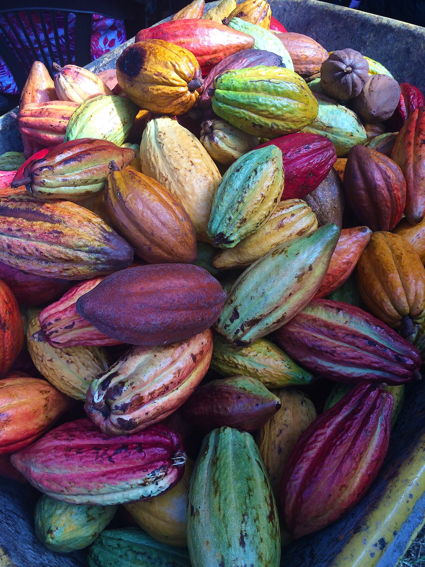Improving cacao farming techniques set to offer major sector breakthrough