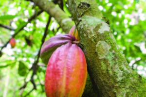 cocoa_fruit_2