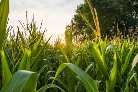 Cargill commits to sustainable farming scheme for key corn ingredients